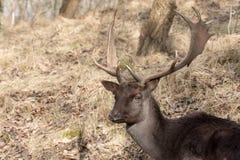 Head of male Fallow Deer Stock Photos