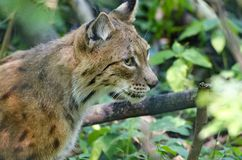 Head of a male lynx Royalty Free Stock Photos