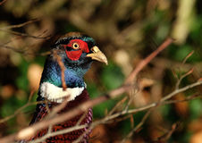 Head of male Pheasant. Royalty Free Stock Photo