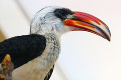 Head of a male von der decken hornbill with a red beak in profile view. Head of a male von der decken hornbill tockus deckeni with a red beak in profile view Royalty Free Stock Photo