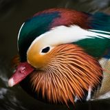 Head of Mandarin duck Royalty Free Stock Photography