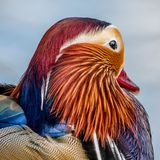The head of a mandarin duck stock images