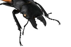 Head, mandible and front legs of large male beetle of stag beetle family Lucanidae, this particular native in Vietnam, on white ba Stock Image