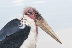 Head of Marabou stork Stock Photography
