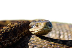 Head of meadow viper with place for your text Stock Images