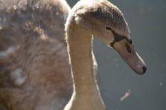 Head med näbb, räkningen och blåtiror av en svan från slut i detaljen som föreställas från sidan, naturfotografivatten royaltyfri bild