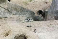 Head Meerkat Royalty Free Stock Photo