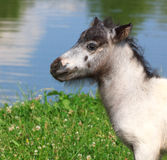 Head of mini horse Falabella on meadow in summer. Close-up Stock Images