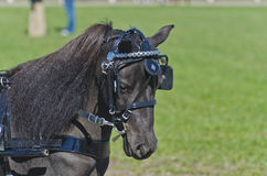 Head of Miniature Horse in Harness Stock Photos