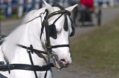 Head of Miniature Horse in Harness. Head of a miniature White horse in harness at a country fair in summer time on a sunny day Stock Images
