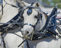 Head of Miniature Horse in Harness stock images