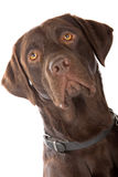 Head of a mixed breed dog (labrador retriever). The head of a mixed breed dog (labrador retriever) looking forward, isolated on a white background Stock Photography