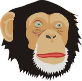 Head of a monkey Royalty Free Stock Photo