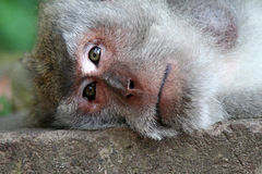 Head of a  monkey. A monkeys head up close. the monkey looks with his eyes ahead. He lies with his head on a stone wall Royalty Free Stock Photo