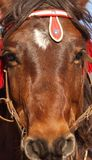 Head of Montenegrian horse Stock Photography