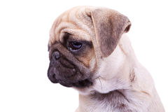 Head of a mops puppy dog Stock Image