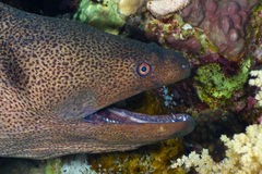 Head moray Royalty Free Stock Image