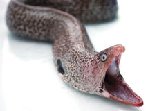Head of Moray eel Royalty Free Stock Photos