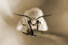 Head moth closeup Stock Photography