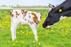 Head of mother cow near newborn calf in meadow. Head of mother cow near newborn calf in dutch pasture royalty free stock photos