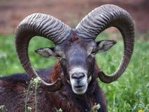 head mouflon Arkivbilder