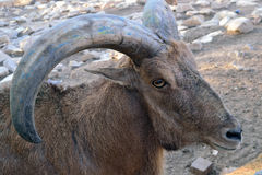 Head of a mountain goat with round horns close-up royalty free stock image