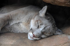 Head of Mountain Lion Stock Image
