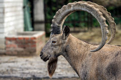 Head of the mountain ram in profile at the zoo in Ukraine Stock Photography