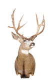 Head of a Mule Deer Royalty Free Stock Photography
