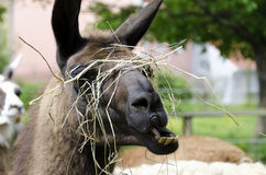 Head of a munching lama. With dry stalks Royalty Free Stock Photography