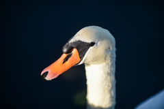 Head of mute Swan Royalty Free Stock Photography