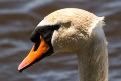 Head of a Mute Swan Royalty Free Stock Photos