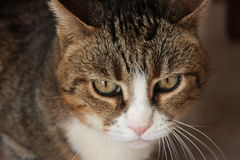 The head of my cat Micia Stock Image