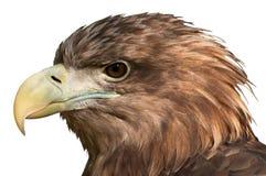 Head närbild för örn Arkivbilder