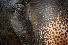 Head närbild för elefant Royaltyfri Foto