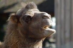 Head närbild för kamel Royaltyfri Fotografi