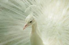 Head närbild för påfågel Fotografering för Bildbyråer