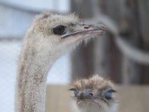 Head närbild för struts Ögon och näbb zoo royaltyfria foton