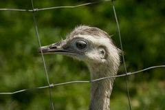 Head of a Nandu behind a fence. The greater rhea Rhea americana is a flightless bird found in eastern South America. Other names for the greater rhea include the Royalty Free Stock Photo