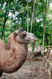 Head and neck of a camel in profile. Outdoors photo Stock Images