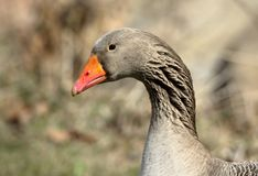Head and neck close-up of a domestic goose with an orange beak. In a park setting royalty free stock images