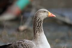 Head and neck close-up of a domestic goose with an orange beak. In a park setting stock images