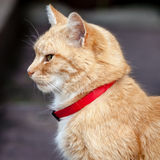 Head and Neck of Ginger Tabby Cat with Red Collar Royalty Free Stock Photography