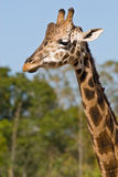 Head and neck of a giraffe. The head and neck of a giraffe, with out of focus trees in the background, as it walks near Royalty Free Stock Photography