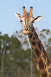 Head and neck of a giraffe. The head and neck of a giraffe, with out of focus trees in the background, as it walks near Royalty Free Stock Images