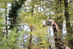 Head and neck of giraffe on trees background. Giraffe's head and neck in front of trees and spring foliage Stock Photography