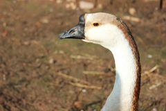 The head and the neck goose. Closeup. The background out of focus. A sunny day in the village stock photo