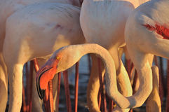 Head and neck of a greater flamingos Stock Image