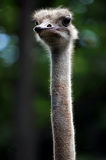 Head and Neck of Ostrich Royalty Free Stock Images