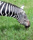 Plains zebra grazing Royalty Free Stock Image